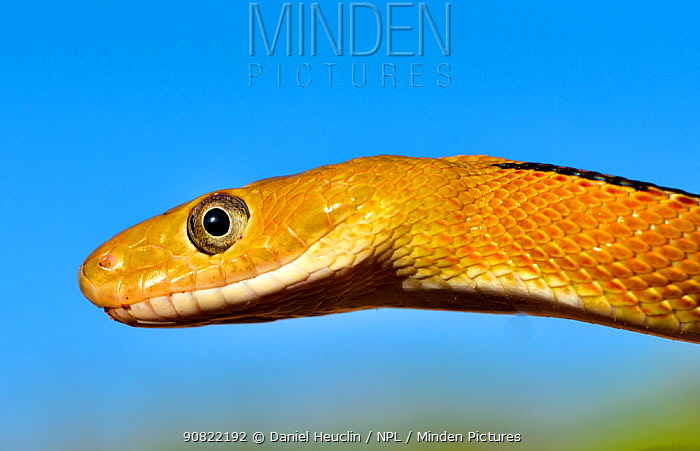 Trans-Pecos rat snake (Bogertophis subocularis), portrait. Texas, USA. May. Controlled conditions.