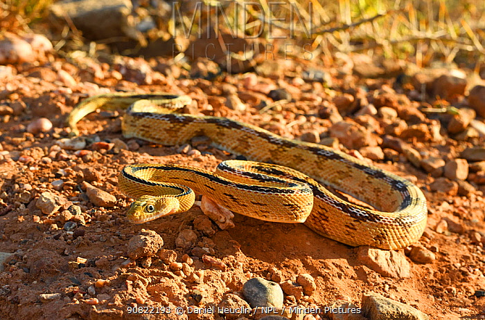 Trans-Pecos rat snake (Bogertophis subocularis). Texas, USA. May. Controlled conditions.