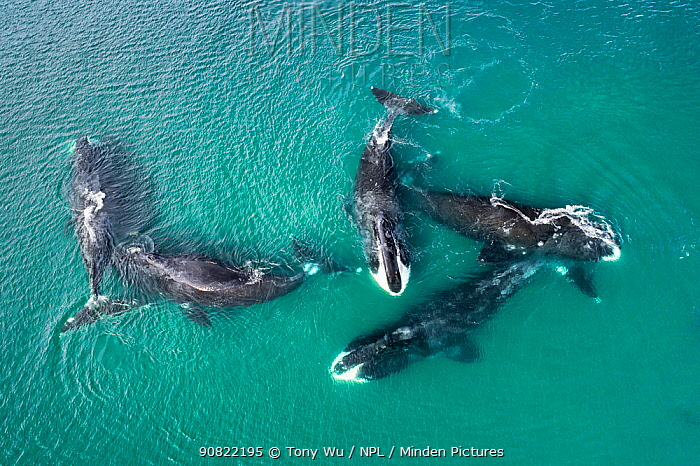 Bowhead whale (Balaena mysticetus), five whales socialising in shallow water, aerial view. Part of larger group of 50 to 100 whales congregating, Sea of Okhotsk sub-population, Russia.