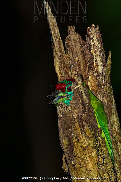 Blue-throated barbet (Megalaima asiatica) roosting in tree stump at night. Simao, Pu'er Prefecture, Yunnan Province, China.
