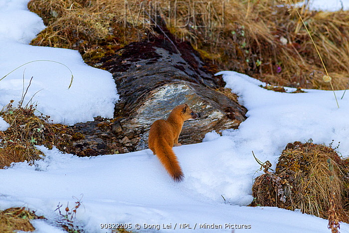 Siberian weasel (Mustela sibirica) sitting in snow. Jiudingshan Nature Reserve, Mao Country, Sichuan Province, China. November.