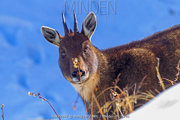 Chinese goral (Naemorhedus griseus) in snow. Jiudingshan Nature Reserve, Mao Country, Sichuan Province, China. November.