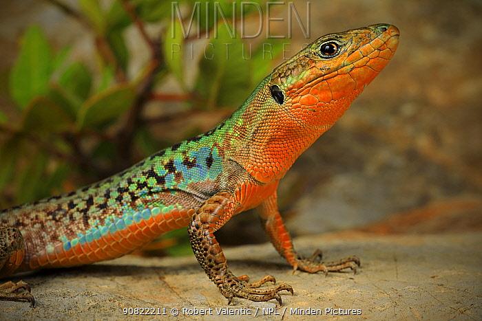 Peloponnese wall lizard (Podarcis peloponnesiacus) in breeding colours. Kardamyli,Peloponnese, Greece. August.
