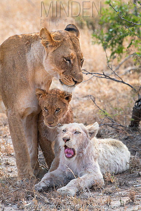 Lion (Panthera leo) female and cubs, one cubs a leucistic white male. Greater Kruger National Park, South Africa.