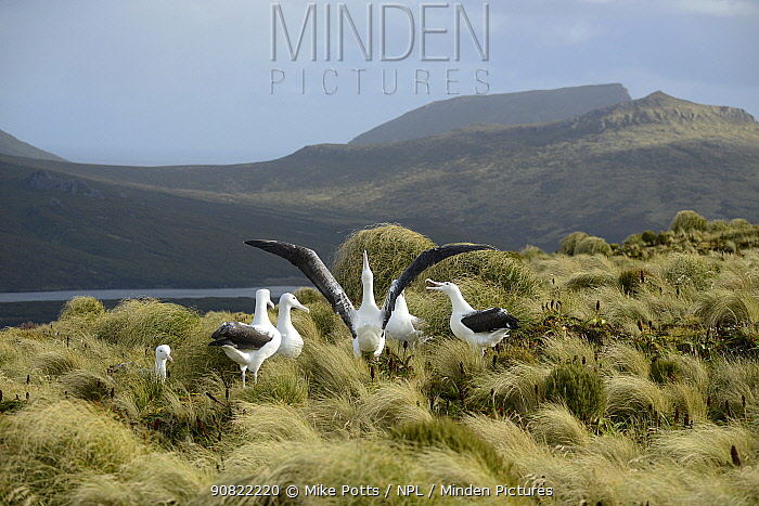 Southern royal albatross (Diomedea epomophora) sub-adults, group displaying in tussock grassland. Campbell Island, New Zealand. February.