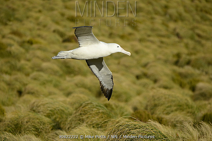 Southern royal albatross (Diomedea epomophora) flying over breeding grounds in grassland. Campbell Island, New Zealand. February.