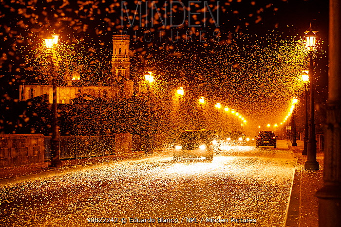 Pale burrower mayfly (Ephoron virgo), swarming in the millions on street at night, appearing like snow. Mayflies recently hatched. Tudela, La Ribera de Navarra, Navarre, Spain. August 2019.