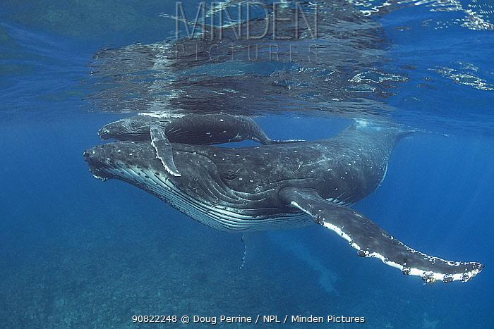 Humpback whale (Megaptera novaeangliae) calf riding on mother's head, near Nomuka Island, Ha'apai group, Kingdom of Tonga, South Pacific