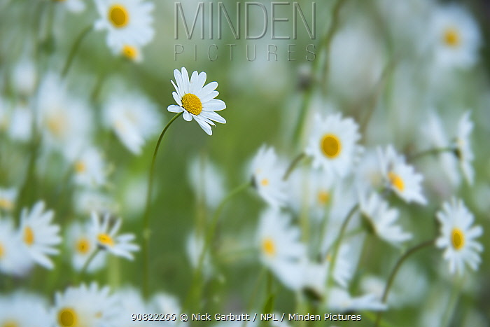 Oxeye daisy (Leucanthemum vulgaris) flowers. North Tyrol, Austria. June.