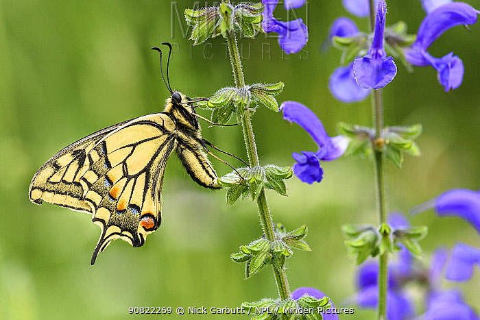 Swallowtail butterfly (Papilio machaon) nectaring on Meadow clary (Salvia pratensis). North Tyrol, Austria. June.