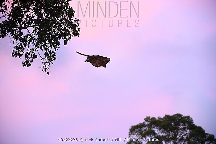 Red giant flying squirrel (Petaurista petaurista) gliding between trees at dusk. Sepilok, Sabah, Borneo, Malaysia. May.