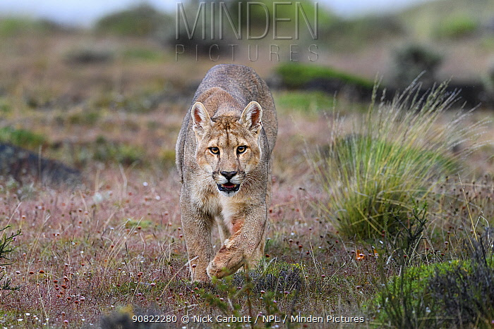 RF - Puma (Puma concolor puma), young male walking in grassland, near Torres del Paine National Park, Patagonia, Chile. December. (This image may be licensed either as rights managed or royalty free.)