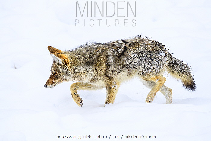 Coyote (Canis latrans) foraging on ice. Madison Valley, Yellowstone National Park, USA. February.