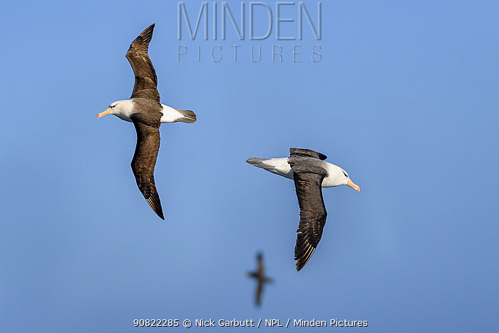 Black-browed albatross (Thalassarche melanophris), two flying in opposite directions, another in background. South Atlantic Ocean between The Falklands Islands and South Georgia. November.