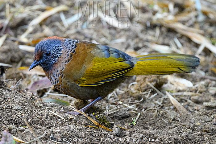 RF - Chestnut-crowned laughing thrush (Trochalopteron erythrocephalum) foraging, Singalila National Park, India. (This image may be licensed either as rights managed or royalty free.)