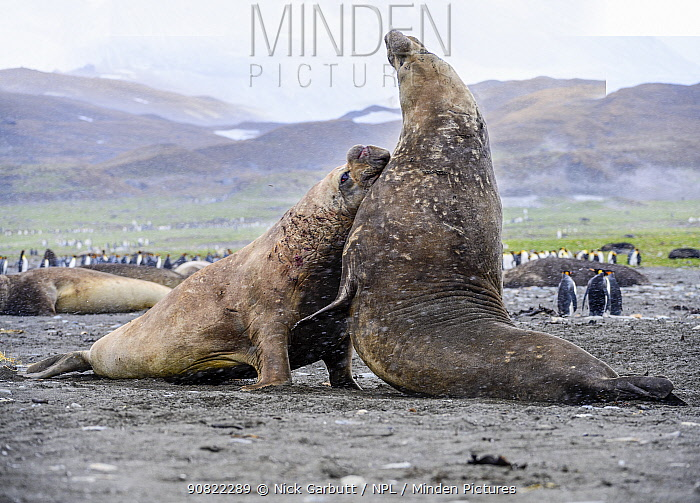Southern elephant seal (Mirounga leonina), two males fighting in colony amongst King penguins (Aptenodytes patagonicus). St Andrews Bay, South Georgia. November.