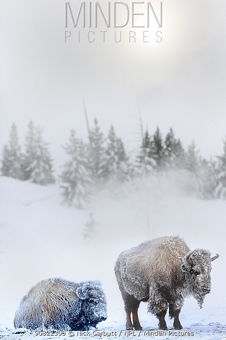 American bison (Bison bison), two females covered in hoar frost near hot spring, conifers in background. Midway Geyser Basin, Yellowstone National Park, USA. February.