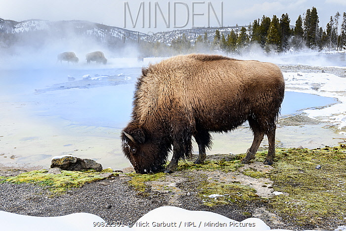 American bison (Bison bison) female grazing near thermal pool, snow on ground. Biscuit Geyser Basin, Yellowstone National Park, USA. February 2019.