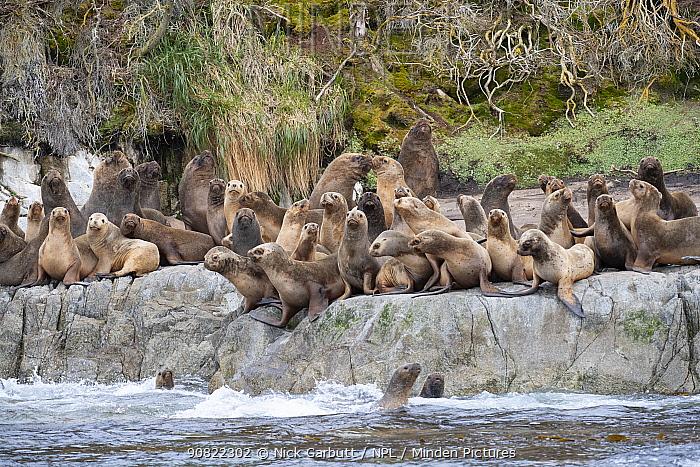 South American sea lion (Otaria flavescens) rookery on coastal rocks. Straits of Magellan, Patagonia, Chile. December.