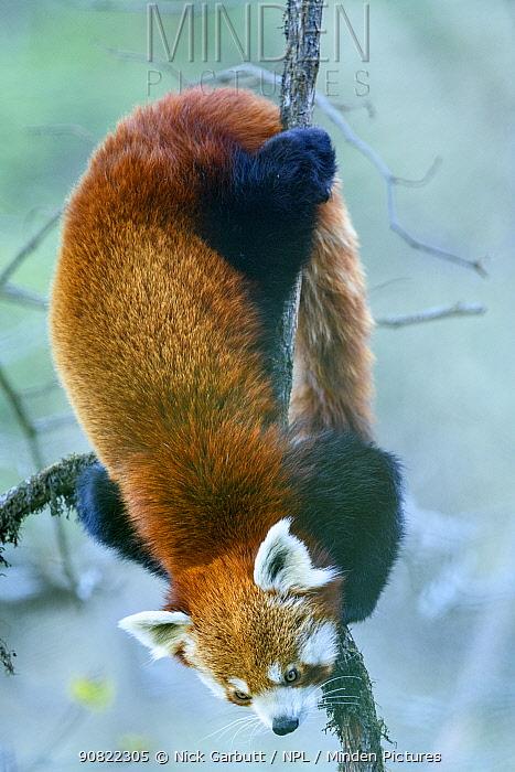 Western red panda (Ailurus fulgens fulgens) climbing downwards. Singalila National Park, India / Nepal border.