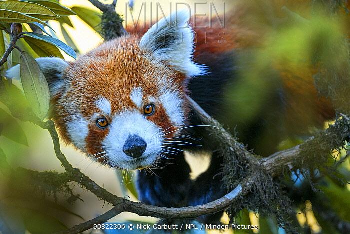 Western red panda (Ailurus fulgens fulgens) climbing in tree. Singalila National Park, India / Nepal border.