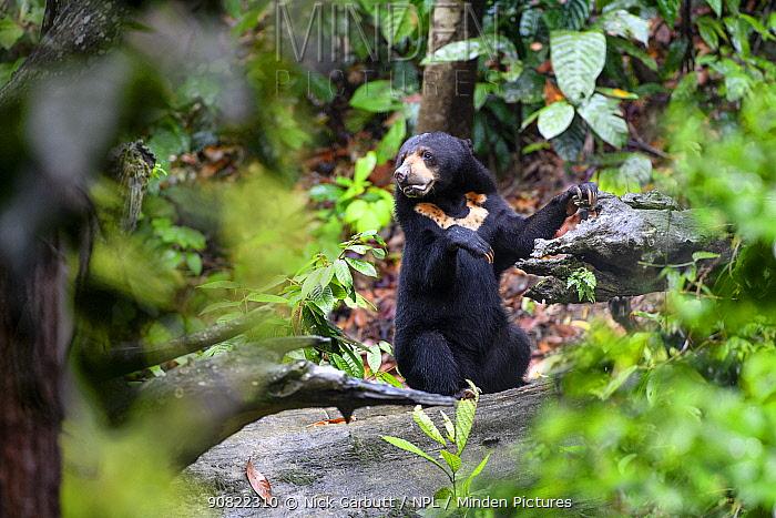 Bornean sun bear (Helarctos malayanus euryspilus) foraging on forest floor. Bornean Sun Bear Conservation Centre (BSBCC), Sepilok, Sabah, Borneo, Malaysia. Captive.
