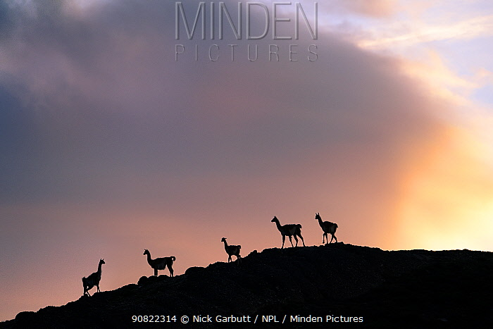 Guanacos (Lama guanicoe), five silhouetted on slope in evening. Torres del Paine National Park, Patagonia, Chile. December.