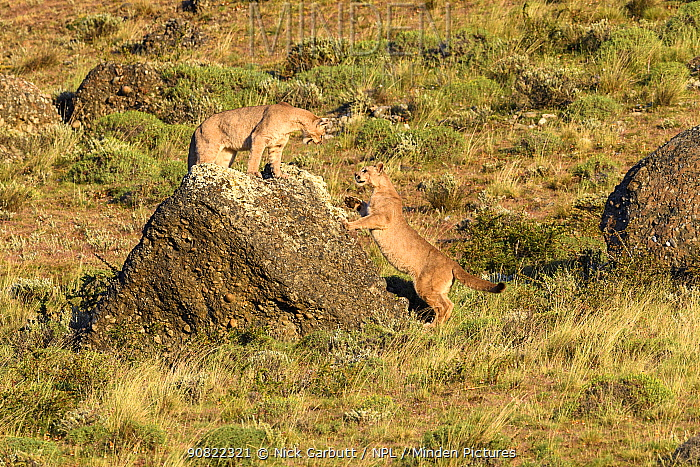 Puma (Puma concolor puma), two sub-adults aged 12 to 13 months playing on rock. Estancia Amarga, near Torres del Paine National Park, Patagonia, Chile. December.