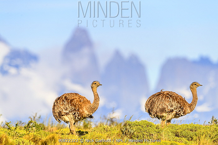 Darwin's rhea (Pterocnemia pennata), two with tower peaks in background. Torres del Paine National Park, Patagonia, Chile. December.