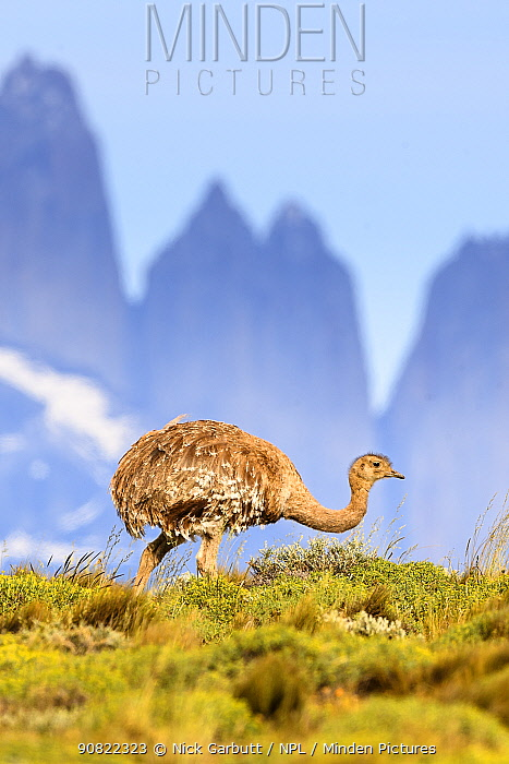 Darwin's rhea (Pterocnemia pennata) with tower peaks in background. Torres del Paine National Park, Patagonia, Chile. December.