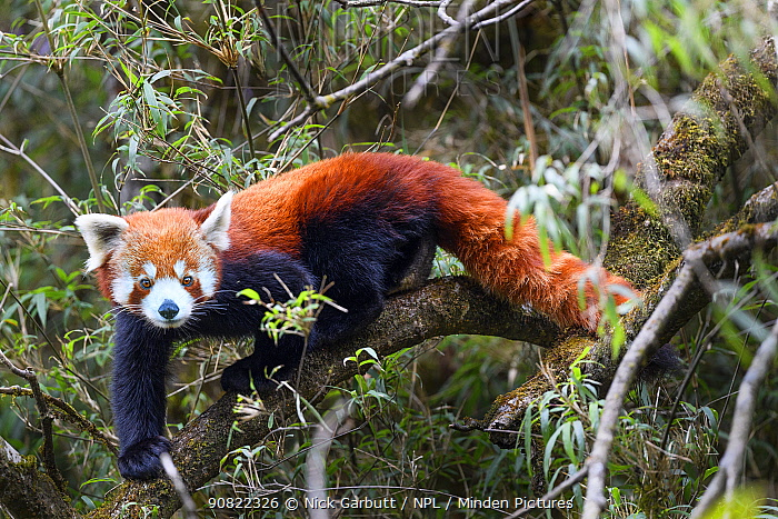 Western red panda (Ailurus fulgens fulgens) climbing in Bamboo forest. Singalila National Park, India / Nepal border.
