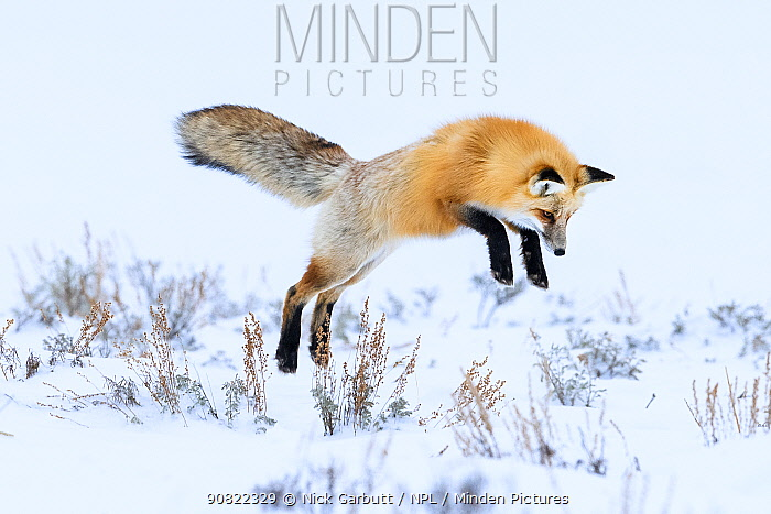Red fox (Vulpes vulpes) in mid air, snow diving / pouncing whilst hunting for rodents. Hayden Valley, Yellowstone National Park, USA. February.