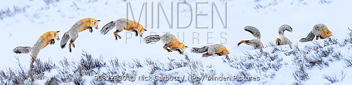 Red fox (Vulpes vulpes) snow diving whilst hunting for rodents. Hayden Valley, Yellowstone National Park, USA. February 2019. Digital composite.