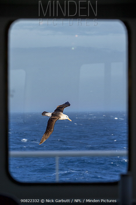 Black-browed albatross (Thalassarche melanophris) in flight over South Atlantic, viewed through ship's window. South Georgia.