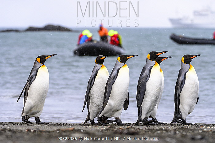 King penguin (Aptenodytes patagonicus) group of six walking along beach, tourists watching from inflatable boat in background. St Andrews Bay, South Georgia. November 2018.
