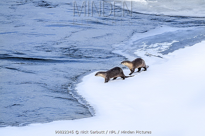 North American river otter (Lutra canadiensis), two standing at edge of frozen Upper Yellowstone River, Hayden Valley, Yellowstone, USA. February.