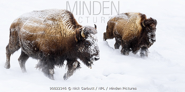 American bison (Bison bison) female with calf, running through snow. Hayden Valley. Yellowstone National Park, USA. February.