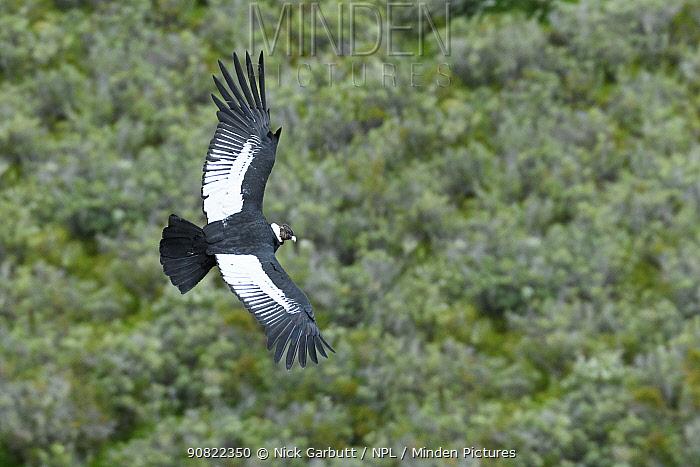 Andean condor (Vultur gryphus) male flying over forest. Estancia Olga Teresa, Patagonia, Chile. December 2018.