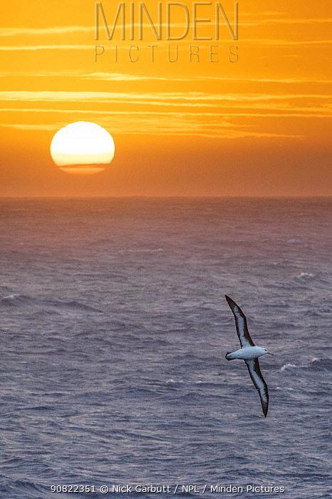 Black-browed albatross (Thalassarche melanophris) in flight over sea at sunrise. South Atlantic Ocean between The Falklands and South Georgia. November.