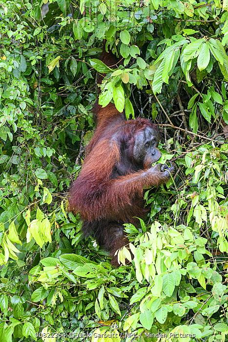 Bornean orang-utan (Pongo pygmaeus), male feeding on leaves in forest on banks of Kinabatangan River, Sabah, Borneo, Malaysia.