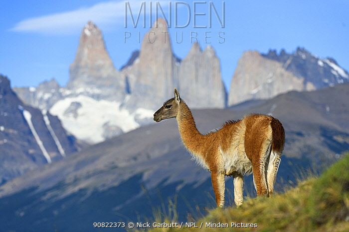 Guanaco (Lama guanicoe) standing, towers of Torres del Paine National Park in background. Patagonia, Chile. December 2018.