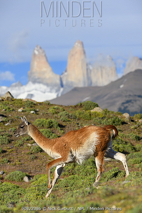 Guanaco (Lama guanicoe) running downhill, towers of Torres del Paine National Park in background. Patagonia, Chile. December 2018.
