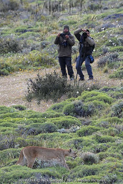 Puma (Puma concolor puma) walking through vegetation, two men taking photos in background. Estancia Amarga, near Torres del Paine National Park, Patagonia, Chile. November 2018.