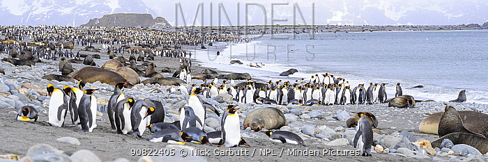 King penguin (Aptenodytes patagonicus), Antarctic fur seal (Arctocephalus gazella) and Southern elephant seal (Mirounga leonina), many on beach. Salisbury Plain, South Georgia. November 2018.