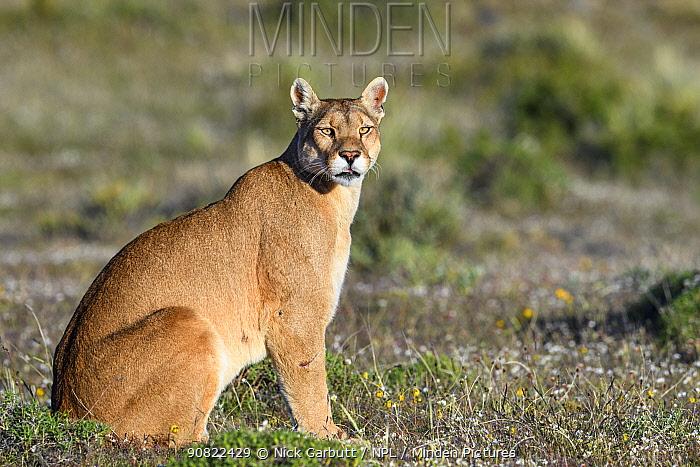 Puma (Puma concolor puma), female sitting in grassland. Estancia Amarga, near Torres del Paine National Park, Patagonia, Chile. November.