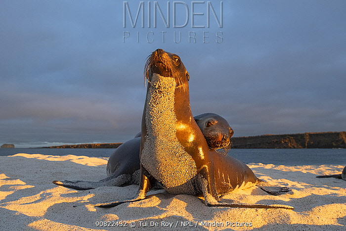 Galapagos sea lion (Zalophus wollebaeki), two on beach, front of sea lion covered in sand, in morning light. Mosquera Islet, Galapagos.