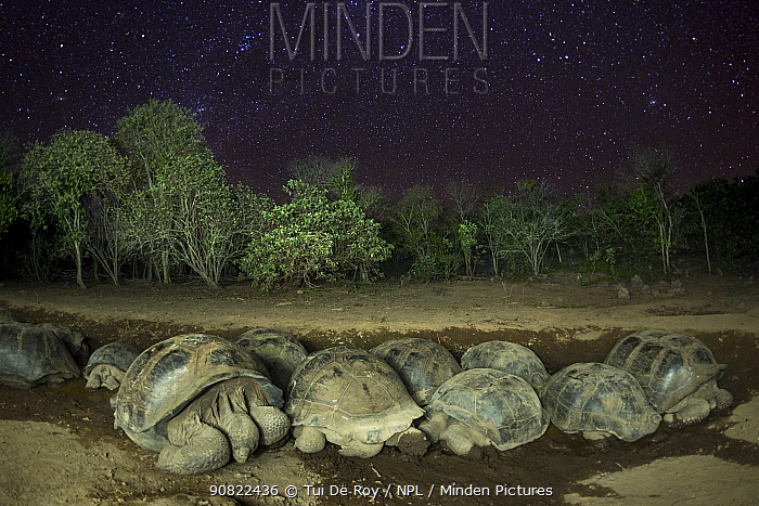 Alcedo giant tortoise (Chelonoidis vandenburghi) group sleeping at Alcedo Volcano at night, under starlit sky. Isabela Island, Galapagos.