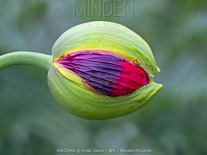 Opium poppy (Papaver somniferum) flower bud opening. Cultivated in garden.