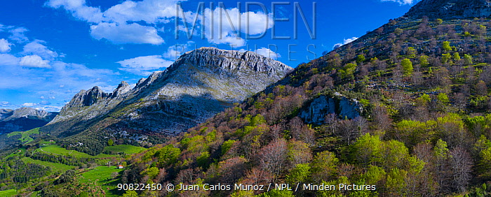 Beech (Fagus sp) forest on hillside with mountains of the Sierra de Hornijo in background. Trees coming into leaf in spring. Alto Ason, Soba Valley, Cantabria, Spain. April 2019.