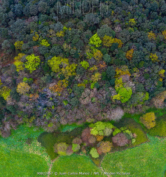 Mediterranean forest in spring, deciduous trees coming into leaf, aerial view. Tarrueza, Laredo, Montana Oriental Costera, Cantabria, Spain. April 2019.